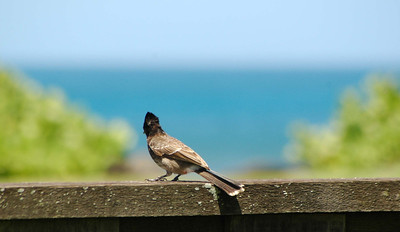 Red-vented Bulbul enjoying the ocean view