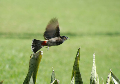 Red-vented Bulbul takes-off