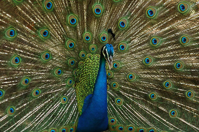 Peacock spreading his feathers to entice a female