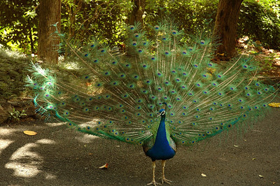 Male Peacock spreading his feathers to entice a female