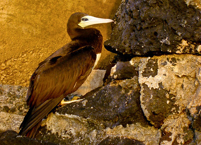 Brown Booby, a large seabird, rests on steps along the beach on the North Shore, Oahu. This bird was injured.
