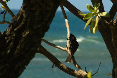 Red-vented Bulbul with a berry in its mouth, sitting on a branch at Diamond Head overlook