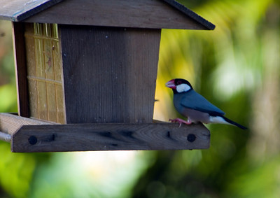 Java Sparrow on a bird feeder