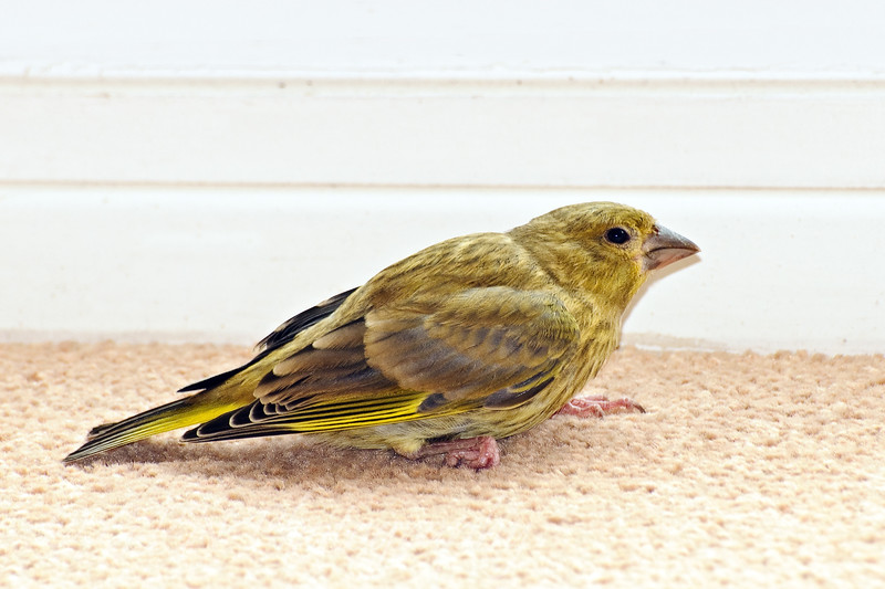 A young Greenfinch flew in to our lounge and it's claw got stuck in the carpet!