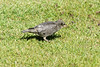 Juvenile Starling taken in my garden
