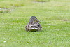 Mallard Duck taken in my garden