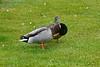 Mallard Ducks taken in my garden