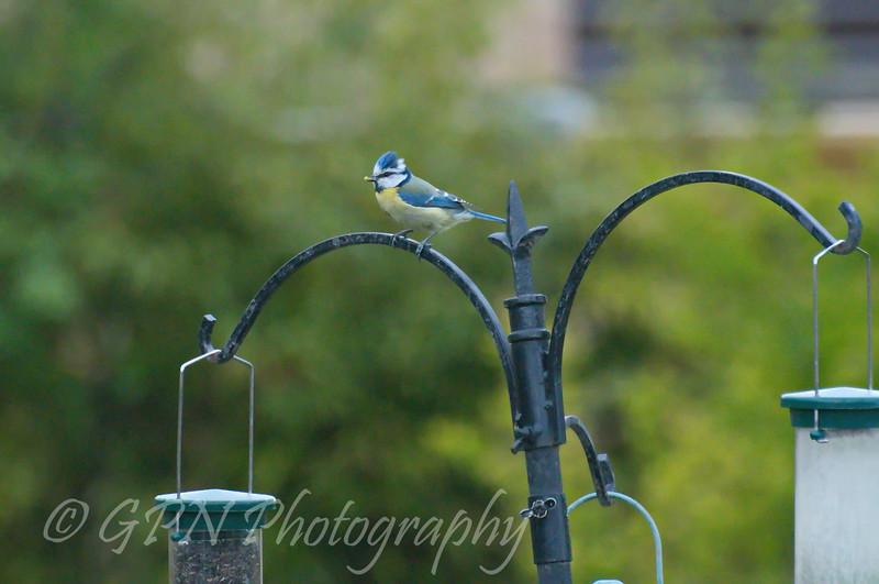 Bluetit taken in my garden