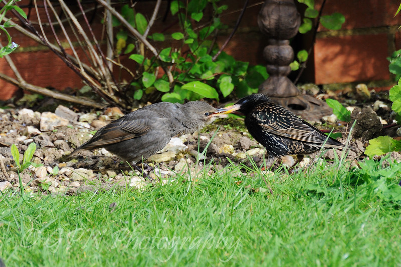 Juvenile Starling being fed