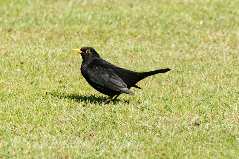 Blackbird taken in my garden