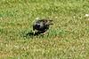 Starling taken in my garden