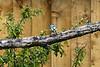 Blue Tit taken in my garden