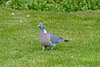 Wood Pigeon taken in my garden