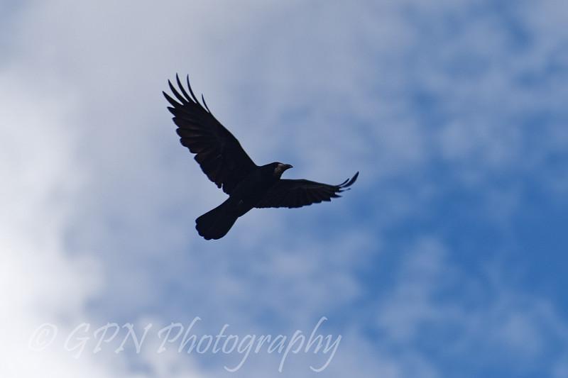 Crow flying overhead