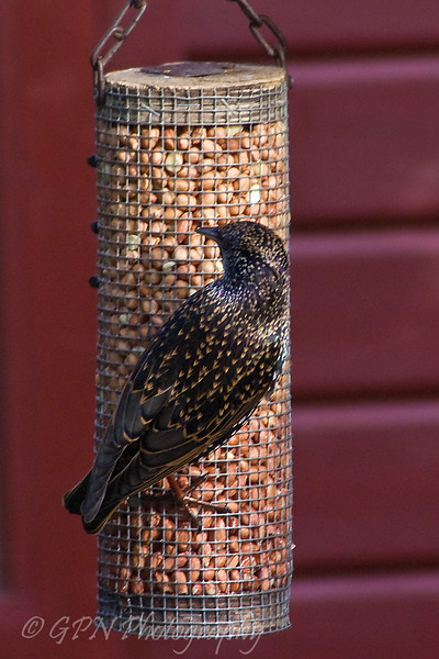 Starling from Marwell Zoo