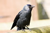 Jackdaw from Marwell Zoo