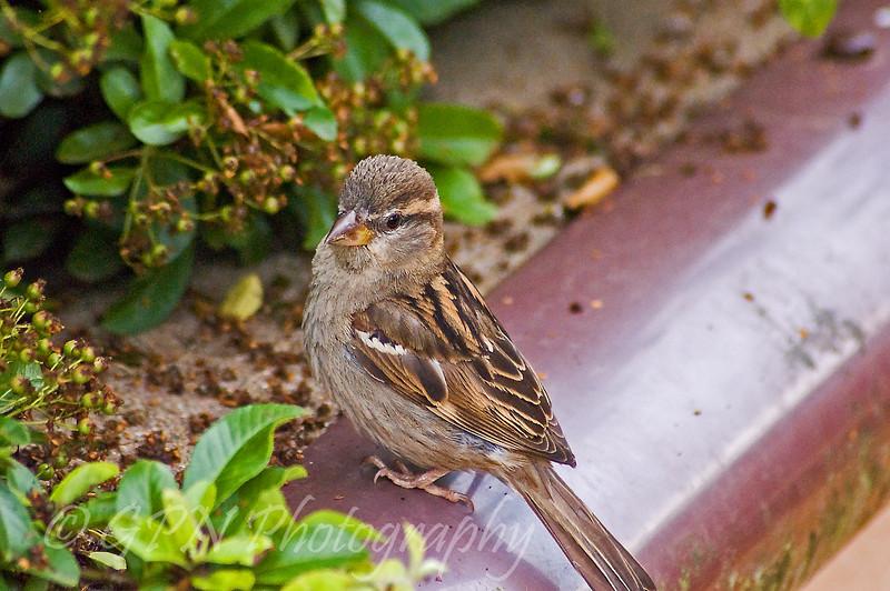 Sparrow in the Meerkat enclosure, Marwell Zoo