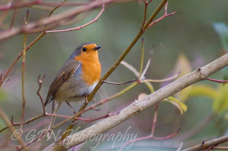 Robin from Rooksbury Mill Lake, Hampshire