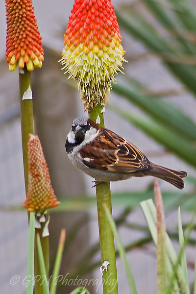 Sparrow on Red Hot Poker from Marwell Zoo