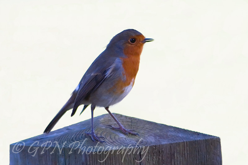 Robin from Marwell Zoo