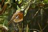 Robin in the Meerkat enclosure, Marwell Zoo