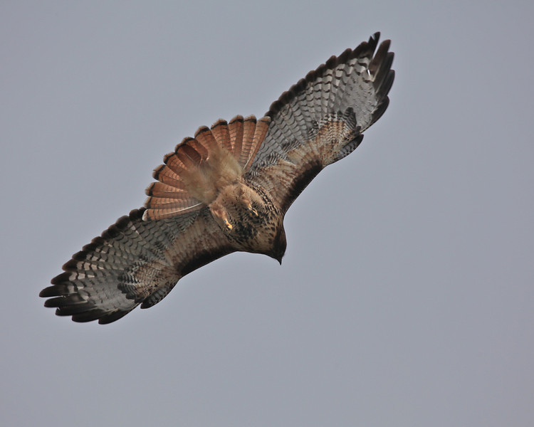 Red-tailed Hawk, Sacramento NWR, December 2010