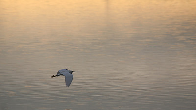 Egret, Sunrise, Las Gallinas Valley Wetlands, San Rafael, California, December 21, 2008