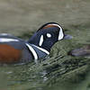Harlequin Duck, San Diego, May 2008