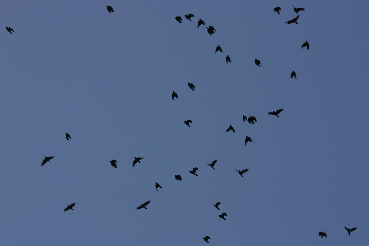 Flock of Crows, Stern Grove, San Francisco, June 2008
