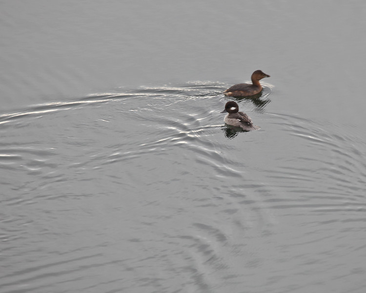 Bufflehead & Pied-billed Grebe, December 2010