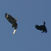 Hawk and Raven, Fort Funston, April 2006