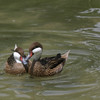 White-cheeked Pintail Ducks, San Diego, May 2008