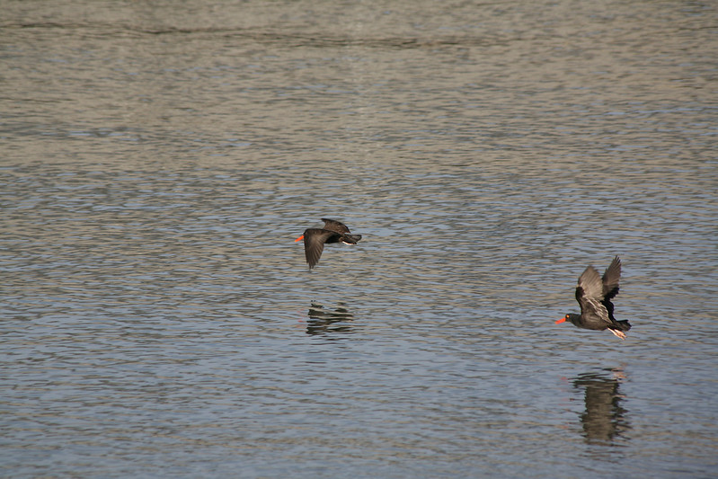 Black Oyster Catchers, Heron's Head Point, San Francisco, Nov 2008
