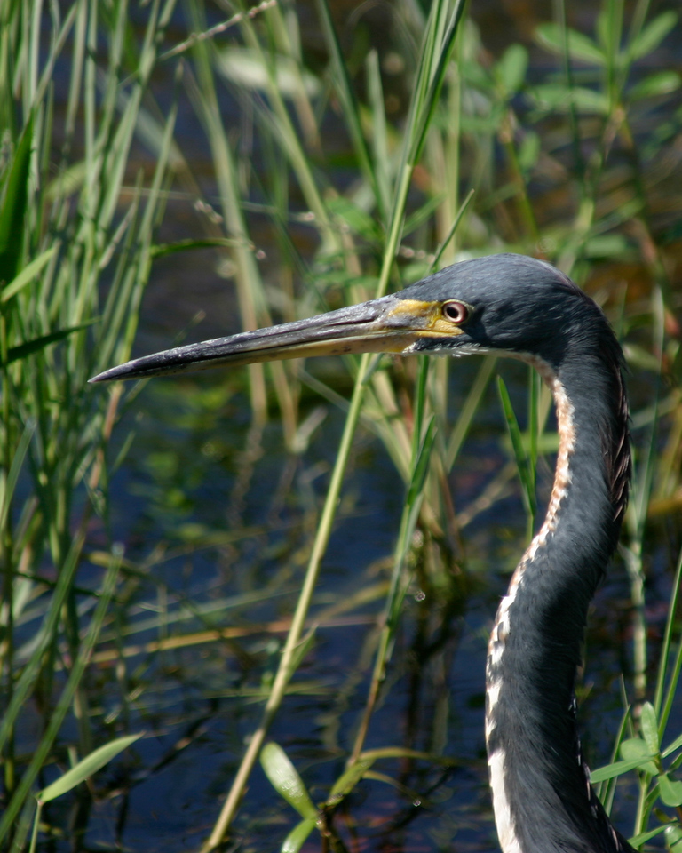 Great Blue Heron, Everglades, October 2006