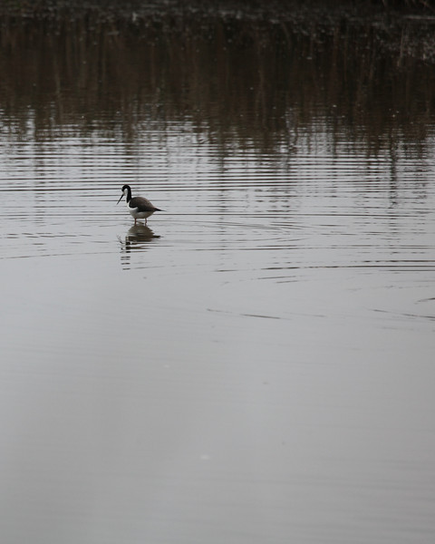 Black-necked Stilt, Sacramento NWR, December 2010