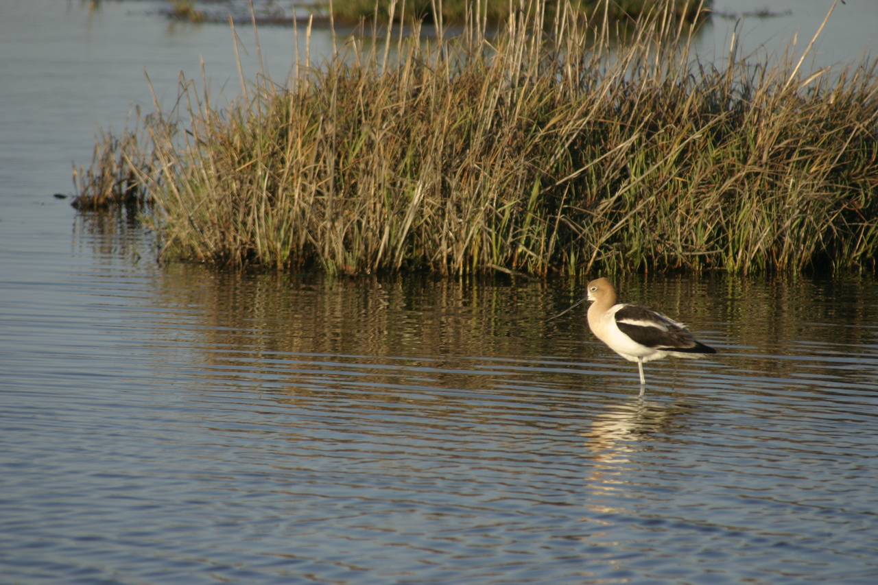 American Avocet, Palo Alto Baylands Nature Preserve, June 2008