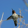 Anna's Hummingbird, January 2007