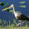 White Ibis, Everglades, October 2006