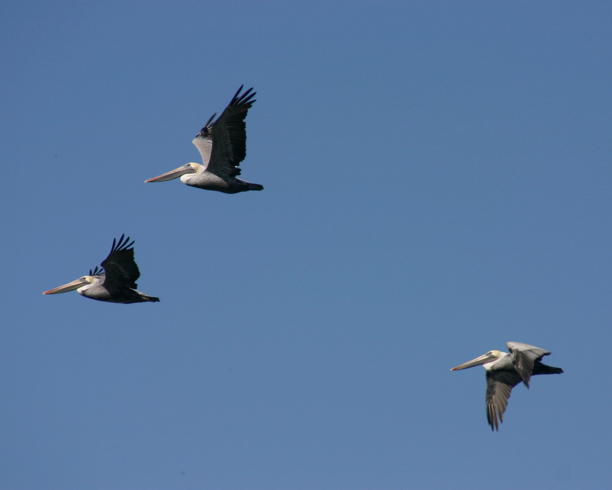 Brown Pelicans, San Francisco