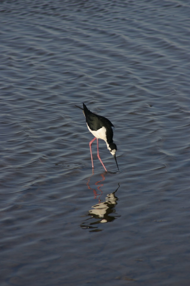Black-Necked Stilt, Palo Alto Baylands Nature Preserve, June 2008