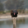 Turkey Vulture, Las Gallinas Valley Wetlands, San Rafael, California, December 21, 2008