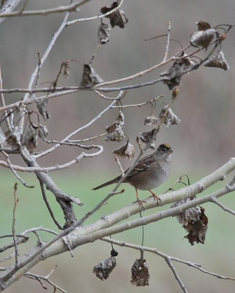 Golden-crowned Sparrow, Sacramento NWR, December 2010