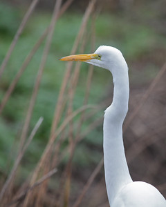 Great Egret, Sacramento NWR December 2010