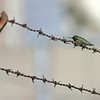 Hummingbird on Barbed Wire Fence
