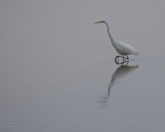 Great Egret, December 2010
