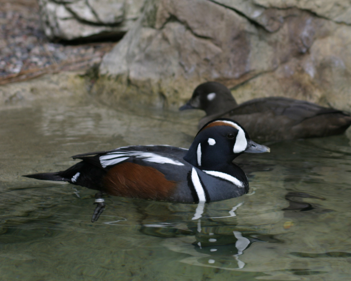 Harlequin Ducks, pair, San Diego, May 2008