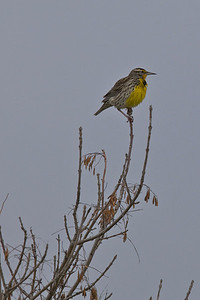 Western Meadowlark, December 2010