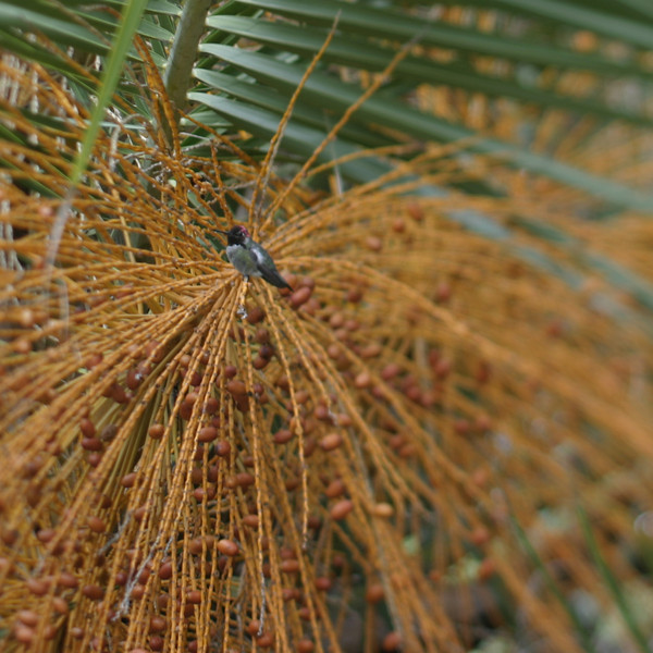 Hummingbird in Date Palm, San Diego, May 2008