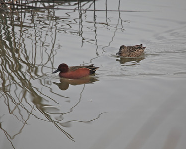 Cinnamon Teal, Sacramento NWR, December 2010