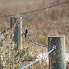Black Phoebe, Palo Alto Baylands, October 2009